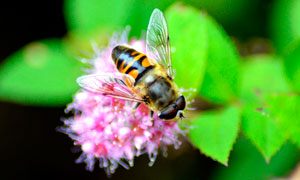 正在采蜜的蜜蜂特写高清摄影图片