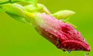 雨后的花蕾特写高清摄影图片
