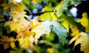 秋季树林中的枫叶美景摄影图片