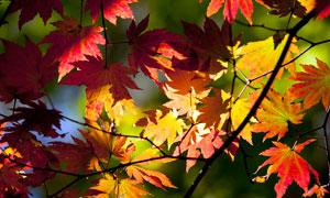 秋季树林中的金黄色枫叶摄影图片