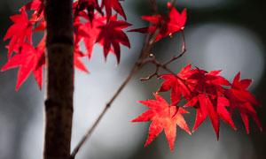 秋季红色枫叶特写高清摄影图片