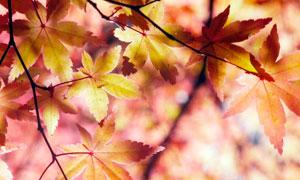 秋季金黄色枫叶美景摄影图片