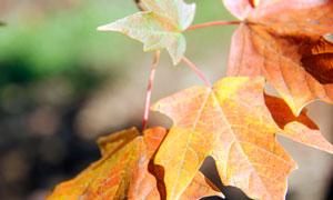 秋季枝头上的枫叶高清摄影图片