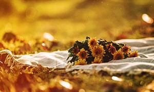 草地毯子上采摘的菊花高清攝影圖片