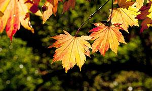 秋季枝頭上掛著的楓葉特寫攝影圖片