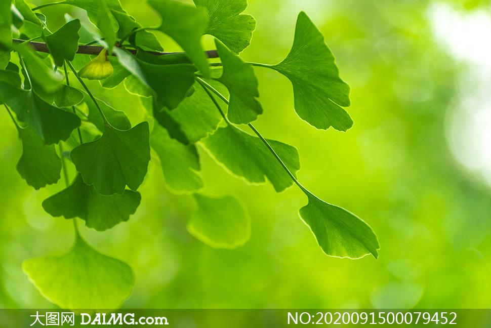 绿色的银杏叶高清摄影图片