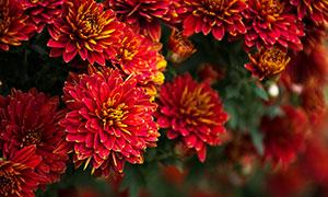 盛開的紅色菊花攝影圖片