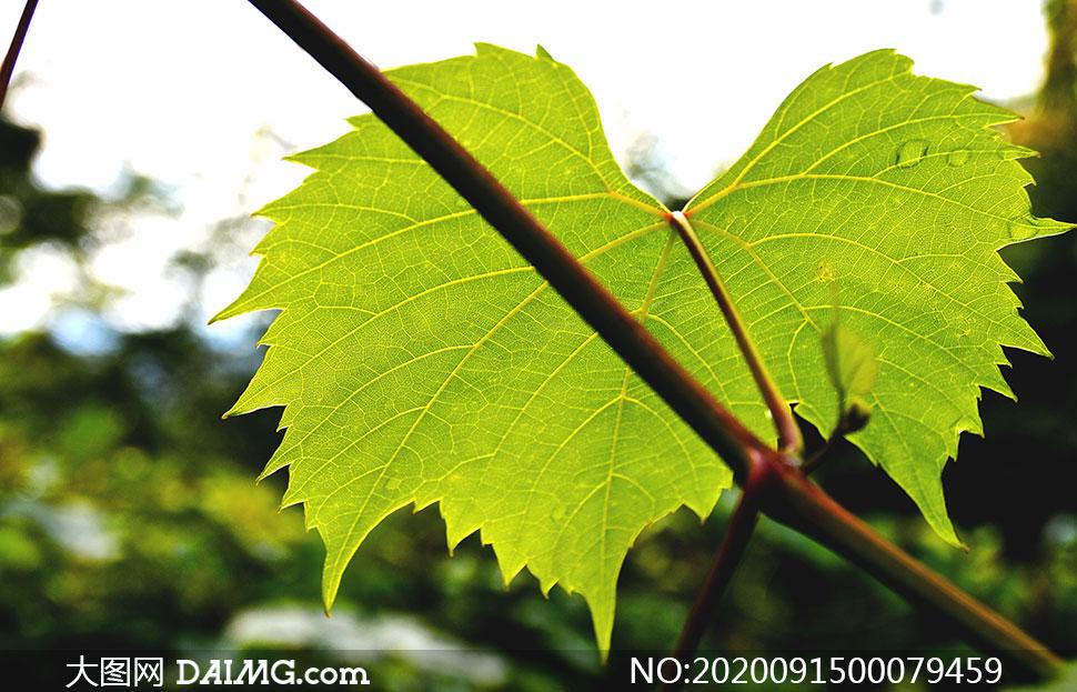 藤蔓上的葡萄叶子特写高清摄影图片