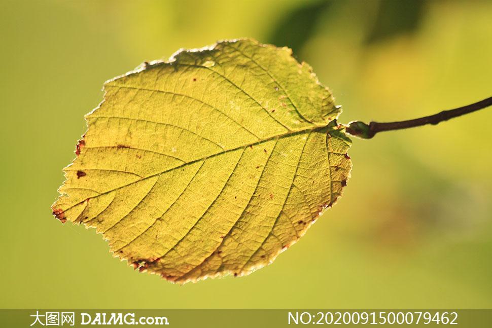 秋季树叶特写高清摄影图片