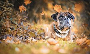 秋季落叶中趴着的斗牛犬摄影图片
