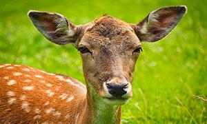 草地上的獐鹿特写高清摄影图片