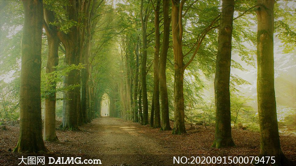 道路边上的两排大树摄影图片