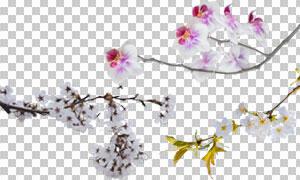 盛开着鲜花的树枝装饰高清图片素材