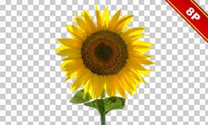 傲然挺立的向日葵主题合成适用素材
