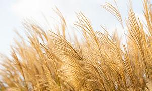 秋季蘆葦叢高清攝影圖片