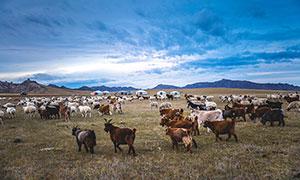 大草原上的羊群高清摄影图片