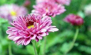 盛開的紅色菊花攝影圖片素材