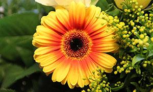 盛開的黃色非洲菊高清攝影圖片