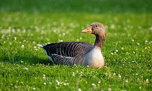 蹲在草地上的鸭子高清摄影图片