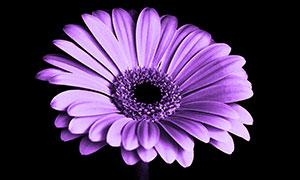 紫色菊花特寫高清攝影圖片