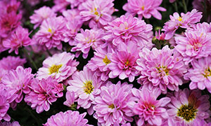 盛開的紅色菊花背景攝影圖片