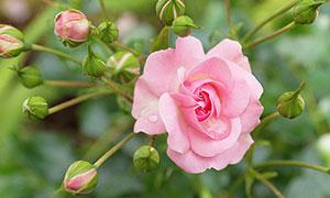 盛开的粉色玫瑰花和花苞摄影图片