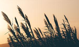 傍晚芦苇丛美景高清摄影图片
