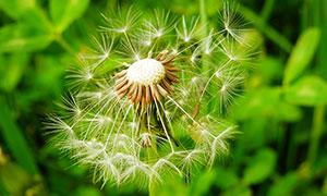 蒲公英种子特写高清摄影图片