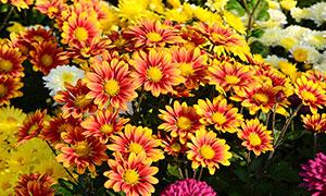 盛开的橙色菊花高清摄影图片