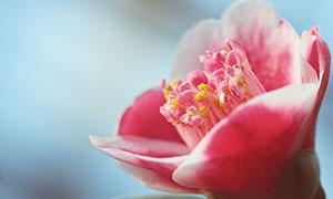 粉色的花朵花蕊特写高清摄影图片