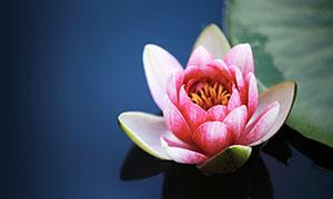 盛开的水百合高清摄影图片