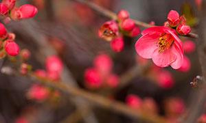 盛开的红色梅花高清摄影图片
