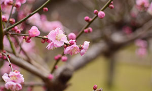 枝头上盛开的粉色梅花摄影图片