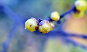 含苞待放的腊梅高清摄影图片
