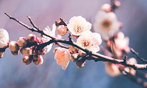冬季枝头下的梅花摄影图片