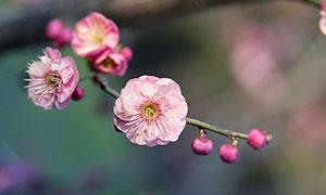 枝头上的粉色梅花和花苞摄影图片