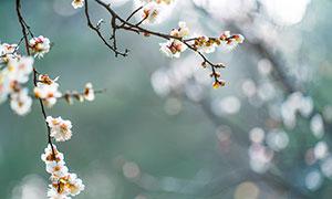 冬季盛开的梅花摄影图片