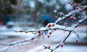 雪中枝头上的梅花高清摄影图片