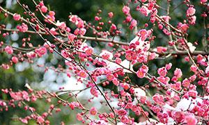 冬季雪后盛开的红色梅花摄影图片