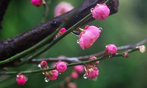 雨后盛开的红色梅花高清摄影图片