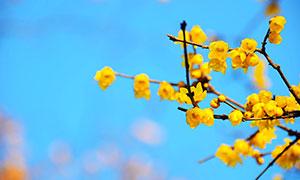 枝头上盛开的黄色梅花摄影图片
