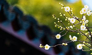 枝头上的花苞和白色梅花摄影图片