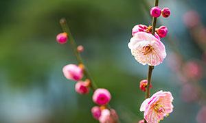 枝头上粉色梅花高清摄影图片
