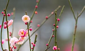 梅枝上盛开的粉色梅花摄影图片