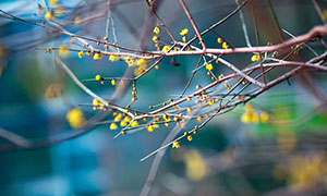 枝头上的黄色梅花花苞摄影图片