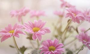 盛开的粉色菊花摄影图片