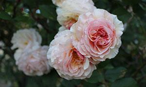 粉色玫瑰花特写摄影图片
