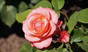 红色玫瑰花特写摄影图片