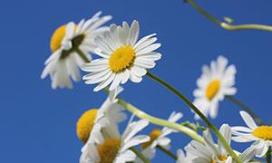 白色菊花高清摄影图片
