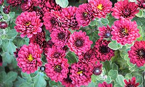 盛开的红色菊花高清摄影图片